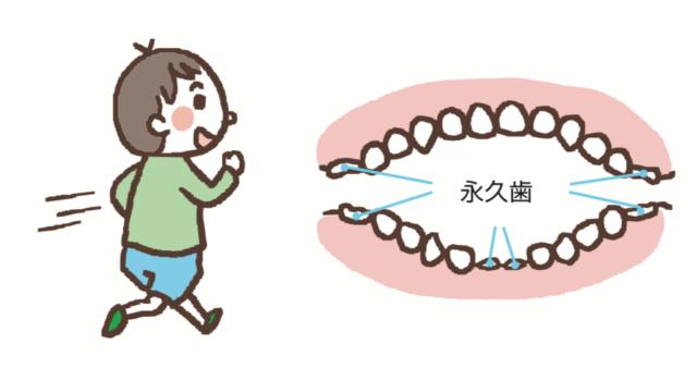 永久歯は6歳頃から萌出や生えかわりが始まり12歳から14歳ごろで永久歯が生えそろう。八王子レイス歯科クリニック 乳歯の生え変わりについてのコラム