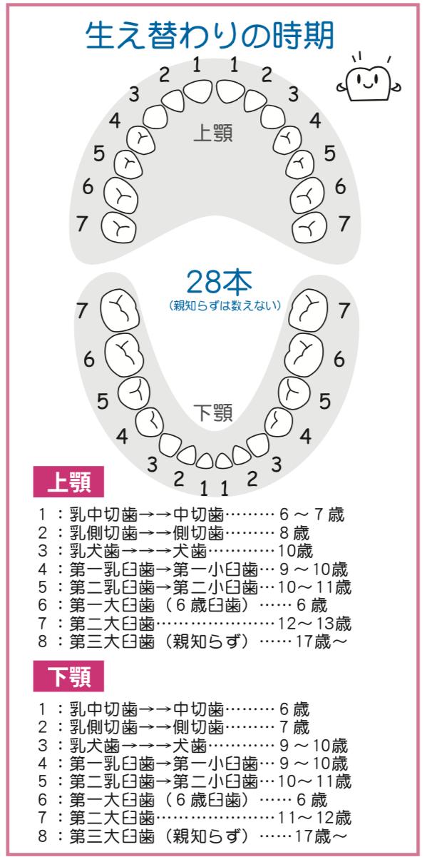 乳歯(上顎 下顎)の生え変わりの時期の図。八王子レイス歯科クリニック 乳歯の生え変わりについてのコラム