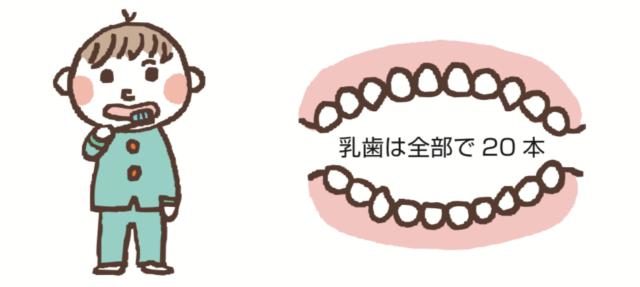 3歳ごろに20本の乳歯は生えそろいます。八王子レイス歯科クリニック 乳歯の生え変わりについてのコラム