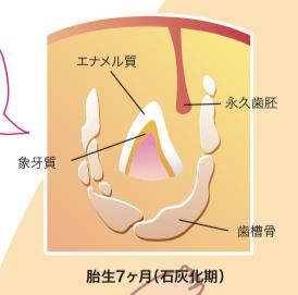 八王子レイス歯科クリニック|歯科衛生士コラム|歯ができるまでと母子感染の予防|妊娠7か月目の歯胚のイメージ図