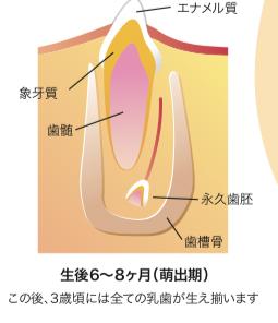 八王子レイス歯科クリニック|歯科衛生士コラム|歯ができるまでと母子感染の予防|生後6~8か月目の乳歯のイメージ