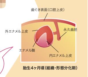 八王子レイス歯科クリニック|歯科衛生士コラム|歯ができるまでと母子感染の予防|妊娠4か月目の歯胚のイメージ図